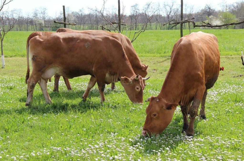 Un parmigiano di qualità dalle vacche rosse reggiane