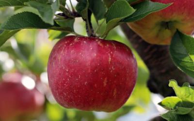 Albicocco, Ciliegio e ora melo: adotta un albero!